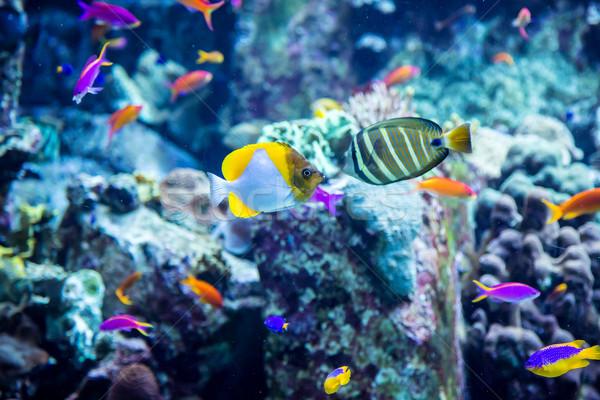 Aquarium tropical fish on a coral reef Stock photo © bloodua