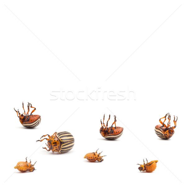 colorado potato beetles Stock photo © bloodua