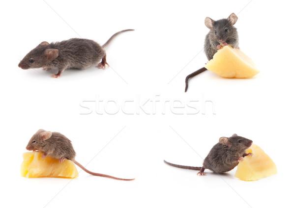 Ingesteld muizen muis kaas witte geïsoleerd Stockfoto © bloodua