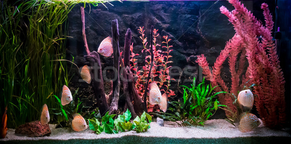 Słodkowodnych akwarium zielone piękna tropikalnych Zdjęcia stock © bloodua