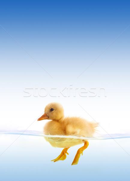 Sarı ördek yavrusu yüzme yalıtılmış beyaz kuş Stok fotoğraf © bloodua
