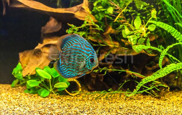 аквариум тропические рыбы обсуждение зеленый красивой тропические Сток-фото © bloodua
