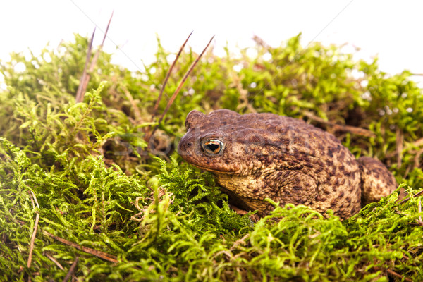 Toad is sitting on moss Stock photo © bloodua