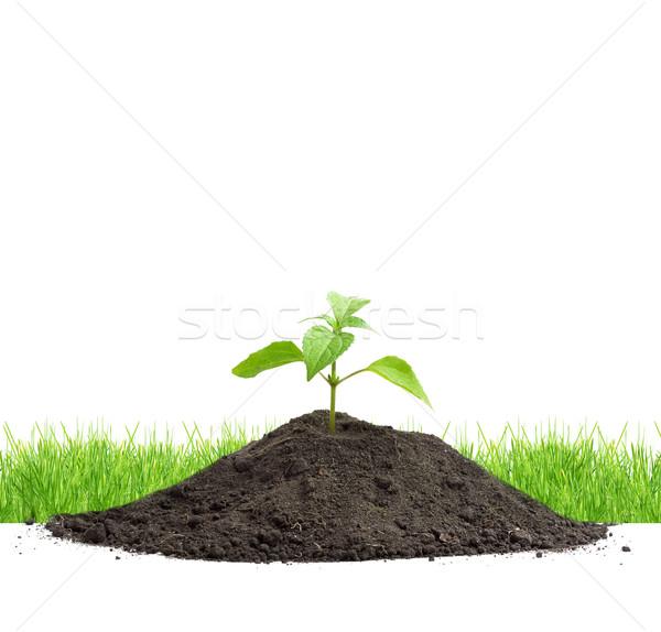 Verde isolado branco grama folha planta Foto stock © bloodua