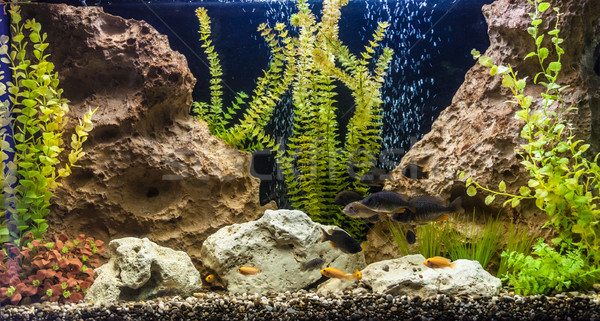 édesvíz akvárium halfajok zöld gyönyörű trópusi Stock fotó © bloodua