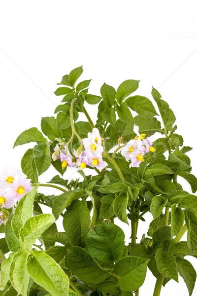 картофеля листьев изолированный белый весны лист Сток-фото © bloodua