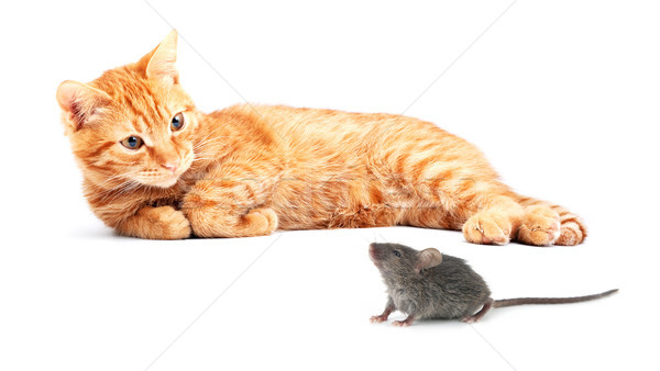 Stock photo: Mouse and cat