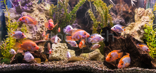 Ttropical freshwater aquarium with fishes Stock fotó © bloodua