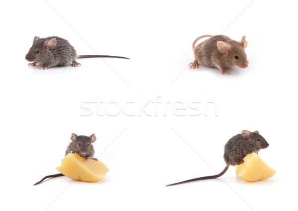 Set of mice, Mouse and cheese on white Stock photo © bloodua