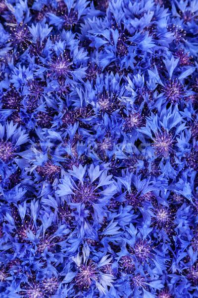 Piękna wiosennych kwiatów niebieski chaber kwiaty wzór Zdjęcia stock © bloodua