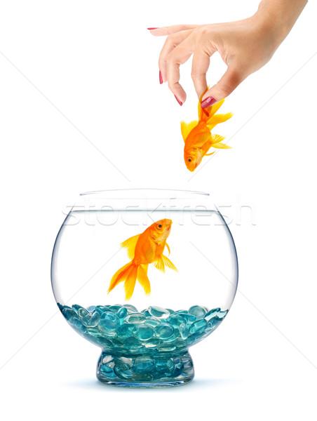 Gold fish in aquarium Stock photo © bloodua