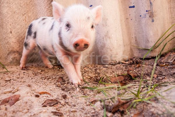 Sevimli çamurlu domuz yavrusu çalışma etrafında Stok fotoğraf © bloodua