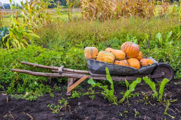 Pumpkins on a wheelbarrow. Stock photo © bloodua