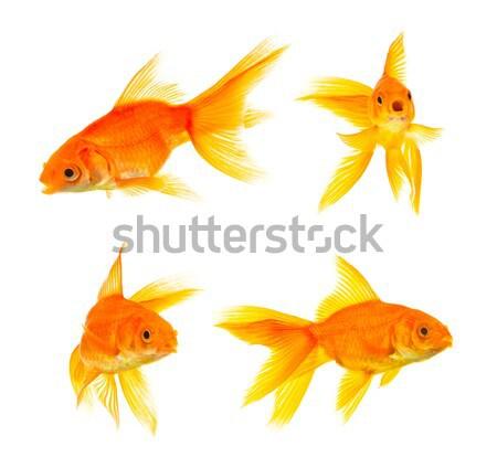 Goldfish oro pesce isolato bianco natura Foto d'archivio © bloodua