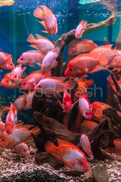 Tropical freshwater aquarium Stock photo © bloodua