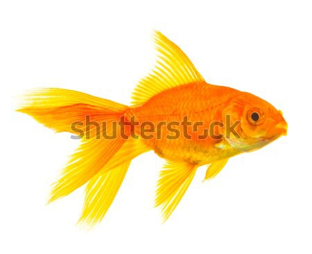 Goldfish Stock photo © bloodua