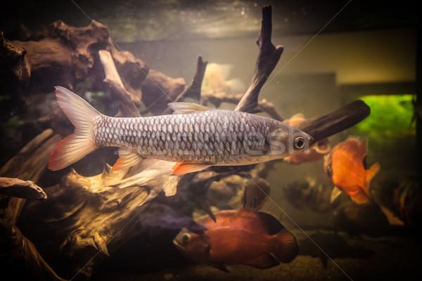 Piranha aquário tropical água doce peixe Foto stock © bloodua