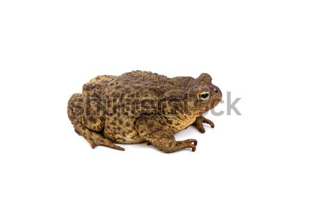Forest toad. Green frog Stock photo © bloodua