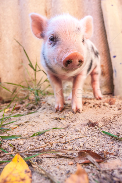 Close-up of a cute muddy piglet running around outdoors on the f Stock photo © bloodua