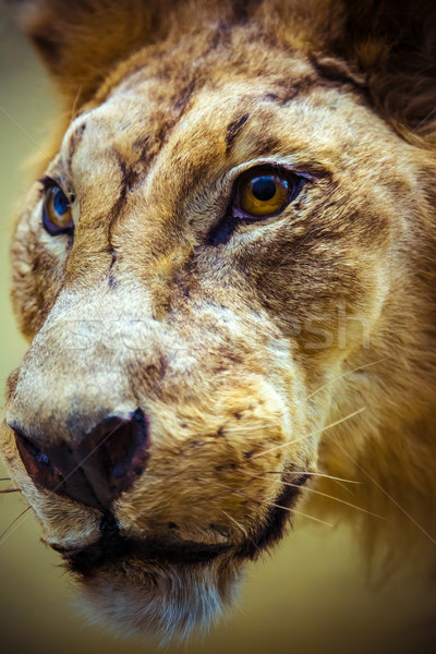 Stuffed lion in a museum Stock photo © bloodua
