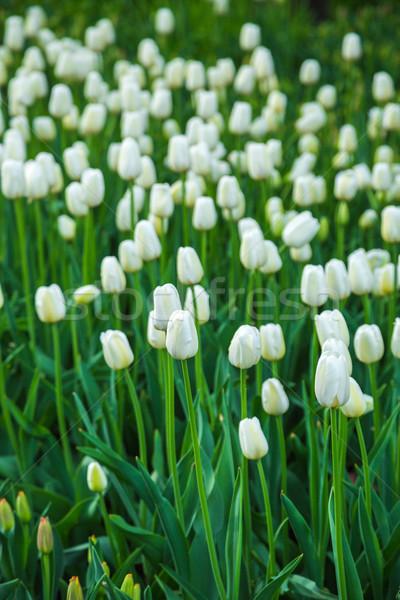 Multicolored flower  tulip field in Holland Stock photo © bloodua