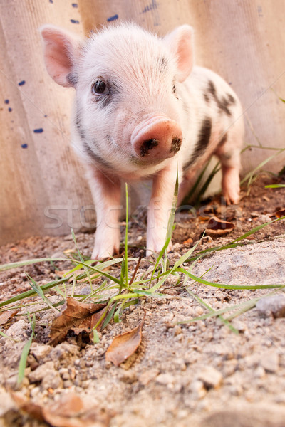 Cute modderig big lopen rond Stockfoto © bloodua