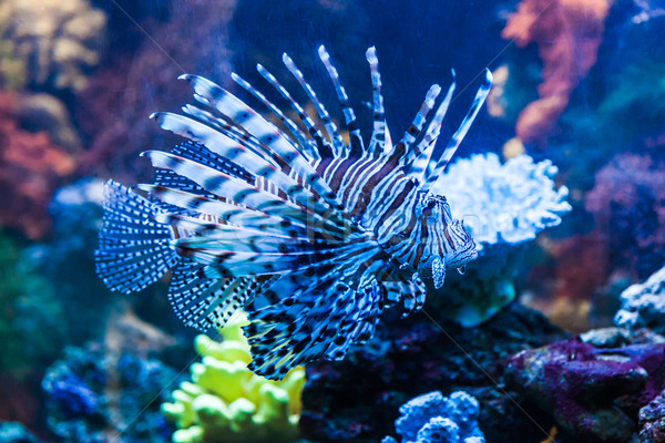 Close up view of a venomous Red lionfish Stock photo © bloodua