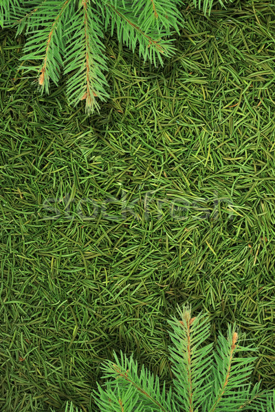 Christmas spruce  texture Stock photo © bloodua
