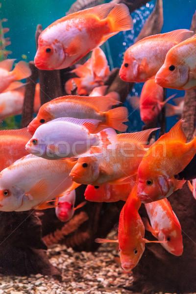 Tropikalnych słodkowodnych akwarium duży czerwony ryb Zdjęcia stock © bloodua