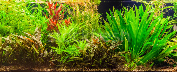 Ttropical freshwater aquarium with fishes Stock photo © bloodua