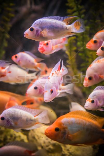 淡水 水族館 緑 美しい 熱帯 ストックフォト © bloodua