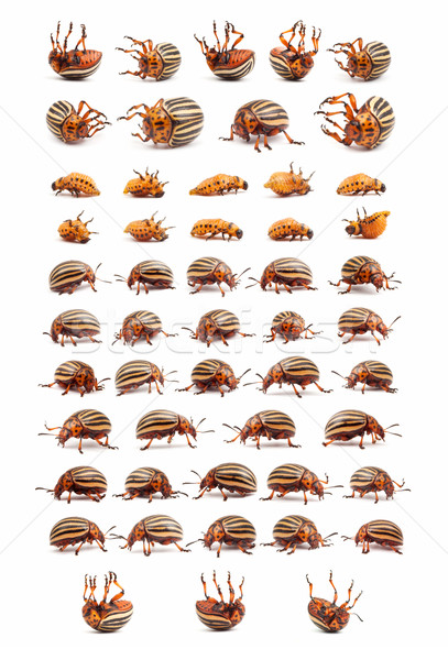 colorado potato beetles Stock photo © bloodua