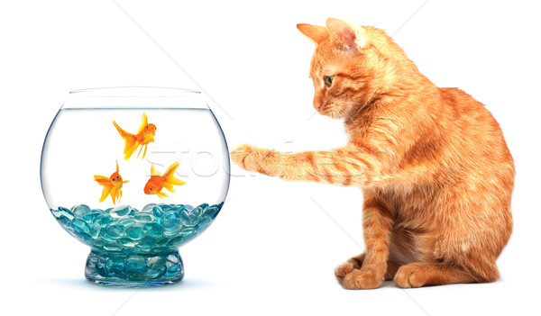 Goldfish and cat Stock photo © bloodua