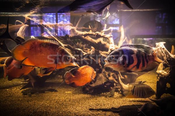 Stock fotó: Piranha · halfajok · akvárium · trópusi · édesvíz · hal