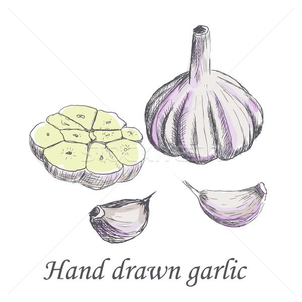 Dibujado a mano crudo ajo boceto naturaleza vida Foto stock © blotty