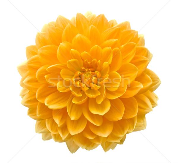 Piękna dalia kwiat odizolowany biały streszczenie Zdjęcia stock © blotty