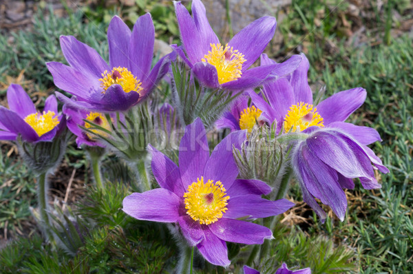 Pasqueflowers Stock photo © blumer1979