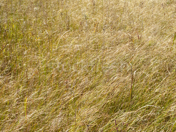 Marsh grass Stock photo © bmonteny