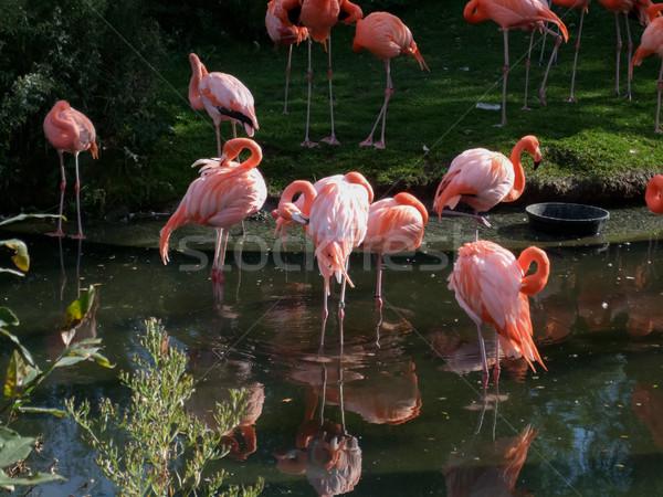 Flamingos in a pond Stock photo © bmonteny
