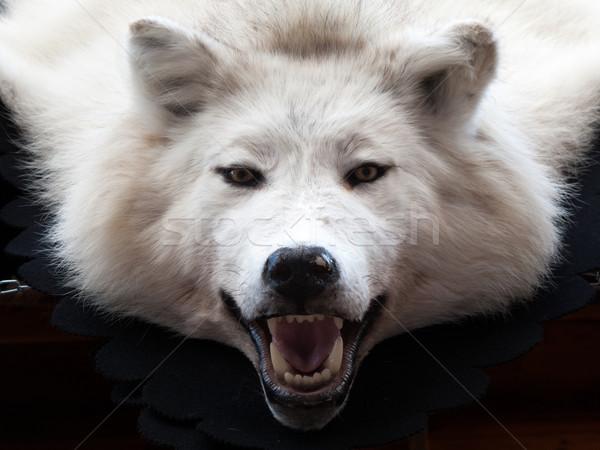 Primo piano lupo tappeto bianco rabbia pericolo Foto d'archivio © bmonteny