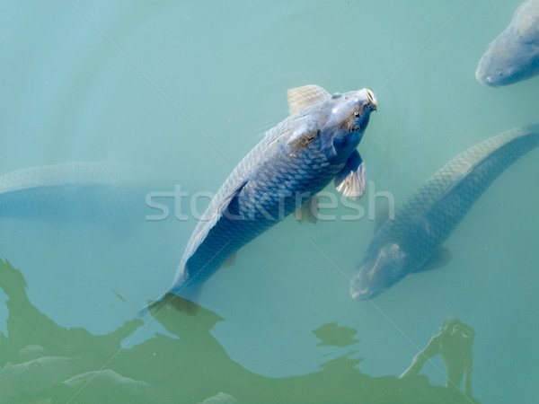 Fish in an aquarium Stock photo © bmonteny