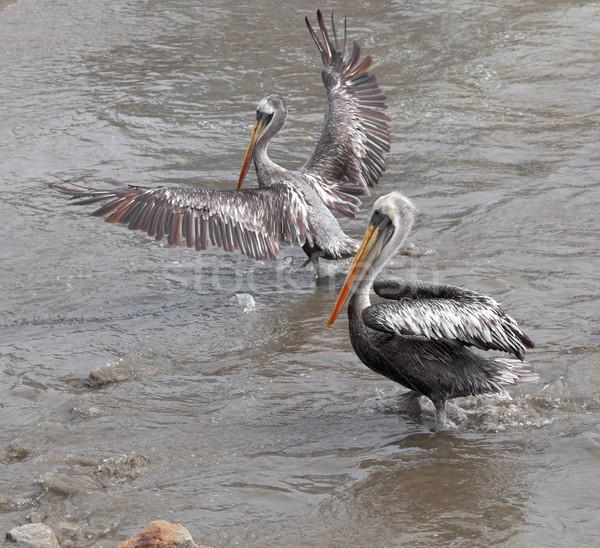 Pelicans on the beach, Peru Stock photo © bmonteny