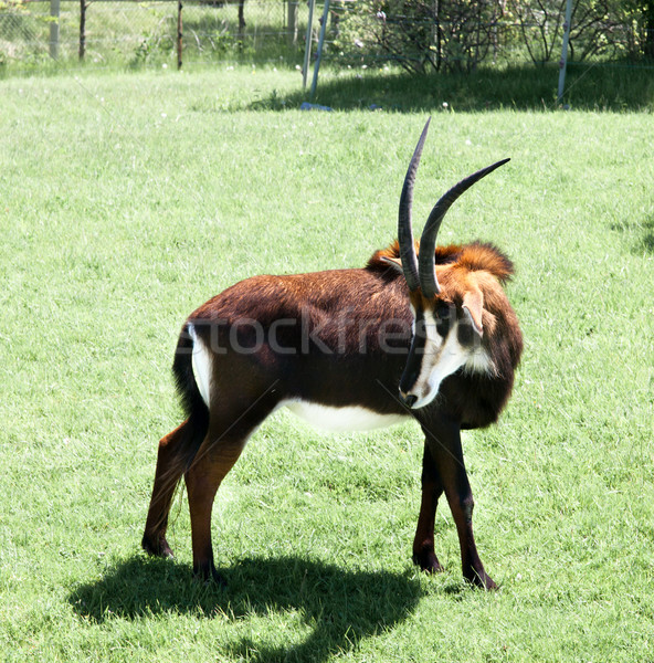 Sable antelope (Hippotragus niger) in a forest Stock photo © bmonteny