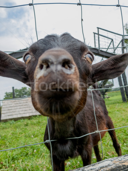 Close-up of a calf in a barn Stock photo © bmonteny