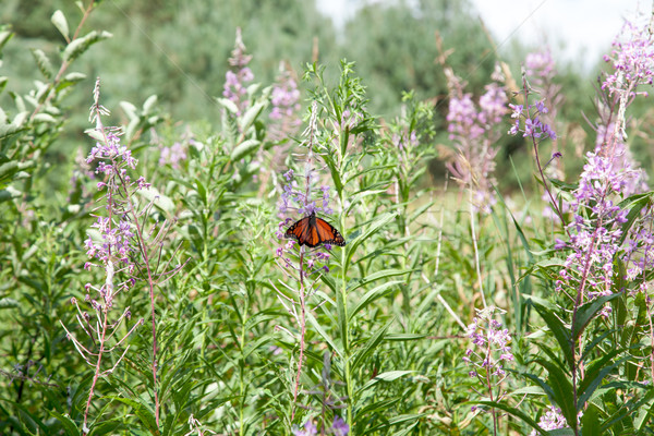 Butterfly pollinating flowers, Tobermory, Ontario, Canada Stock photo © bmonteny