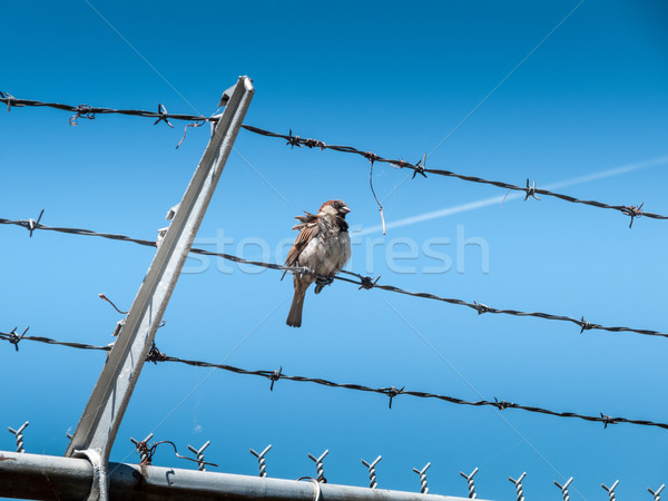 Bird perching on barbed wire Stock photo © bmonteny