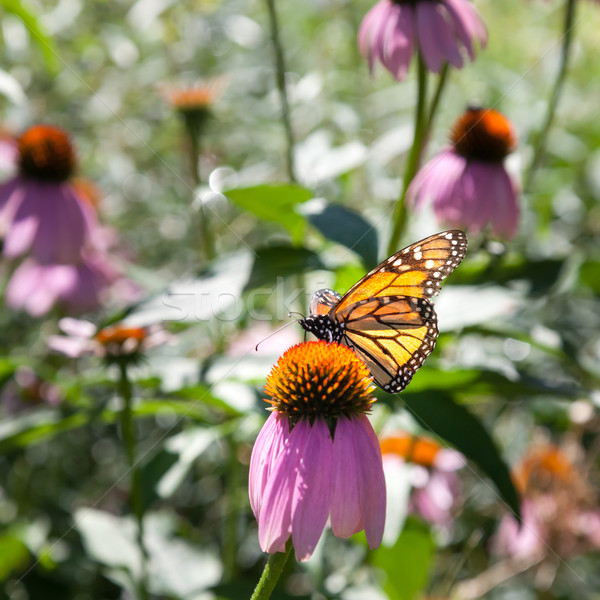 Stock photo: Butterfly hovering on Echinacea flower, Tobermory, Ontario, Cana