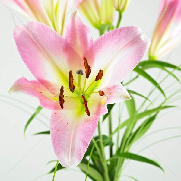 close-up of lilly isolated on a white background Stock photo © bmonteny