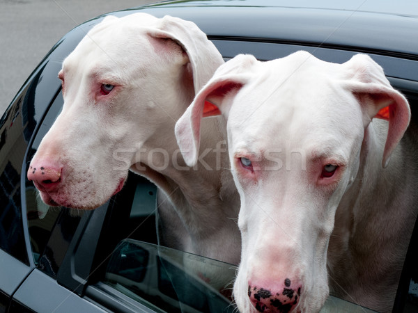 Two Great Danes peeking through a window of a car Stock photo © bmonteny