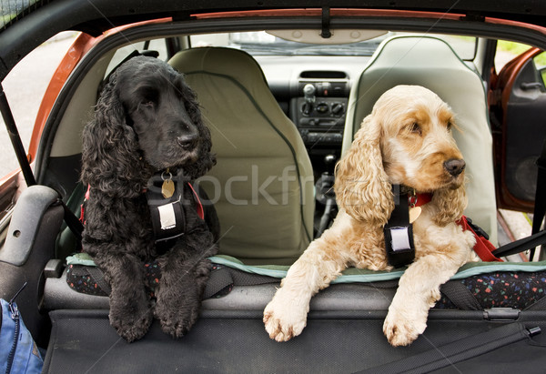 Cocker Spaniel dogs Stock photo © bobhackett